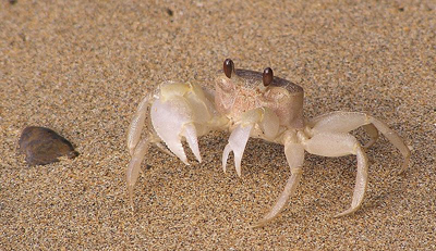 Ghost Crab Adaptation