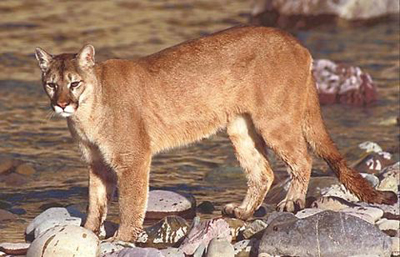 Mountain Lion Adaptation